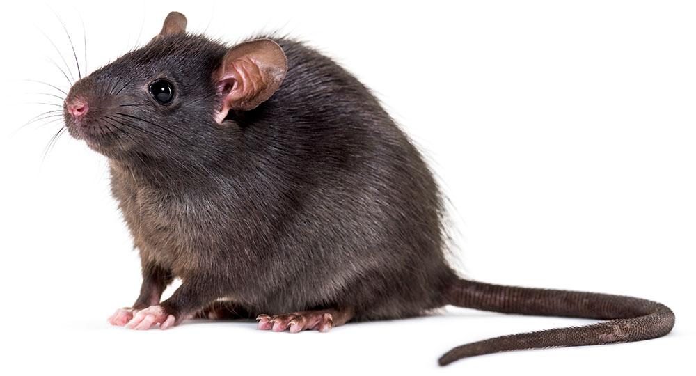 Bekjempelse av rotter, Gardreform AS